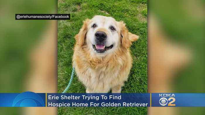 Erie Shelter Trying To Find Hospice Home For Golden Retriever