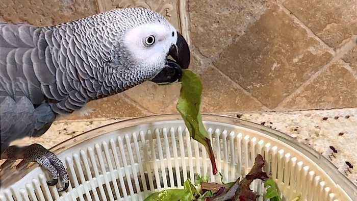 Discriminating parrot closely inspects his salad