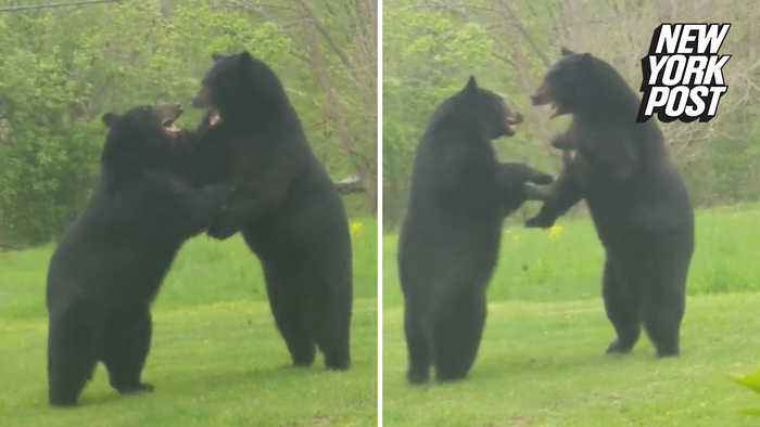Man catches intense bear brawl on his front lawn
