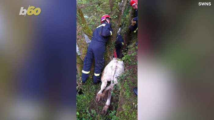 Rescue Workers Save Cow… Stuck in a Tree