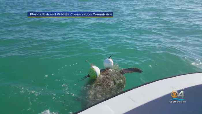 Entangled Loggerhead Turtle Rescued By FWC Biologists