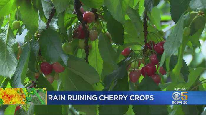 May Storm Brings Trouble For Gilroy Cherry Growers