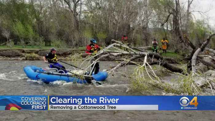 Large Cottonwood Cut Down Out Of Arkansas River