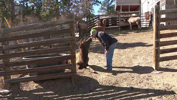 'Annie is the love of his life': The unlikely bond between man and a wild elk
