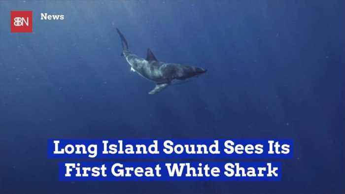A Great White Shark In Long Island Sound