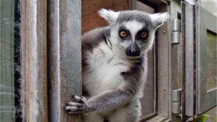 Man Agrees To Plead Guilty To Stealing Endangered Lemur From Zoo