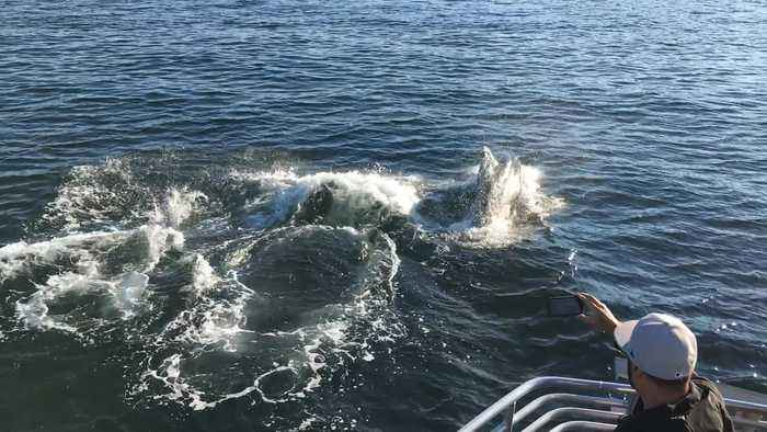 Orca pod surfaces from right underneath sightseeing boat