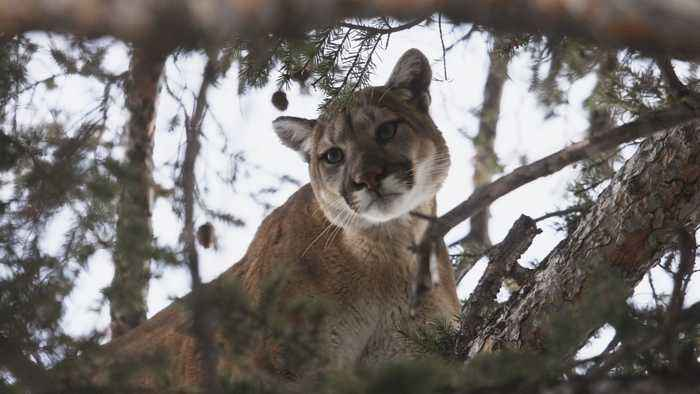 Firefighters Rescue 80-Pound Cougar From Tree