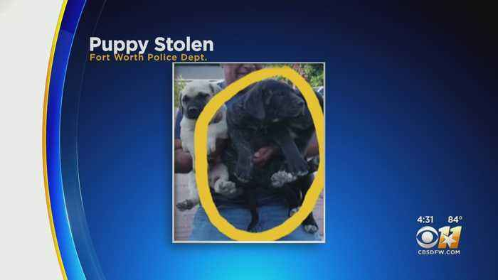 3 Suspects Wanted For Stealing Bullmastiff Puppy In Fort Worth