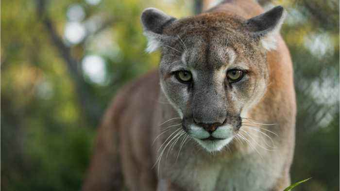 Why Juvenile Mountain Lion Attacks May Occur