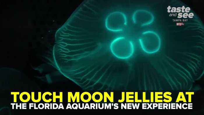 Touch moon jellies at The Florida Aquarium's newest exhibit | Taste and See Tampa Bay