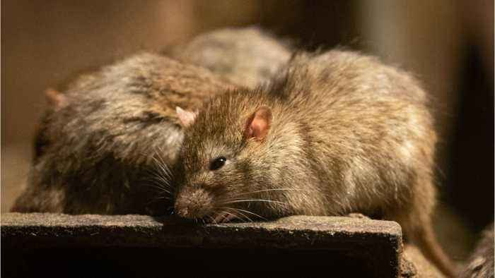 Is Climate Change Causing A Ratpocalypse?