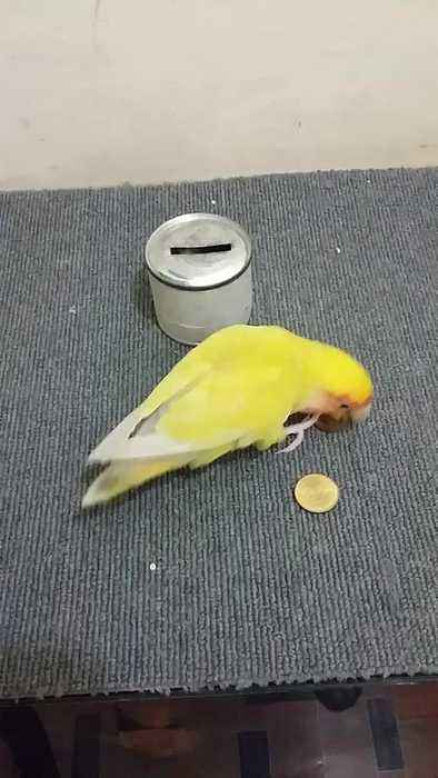 Parrot Puts Coins in Piggy Bank