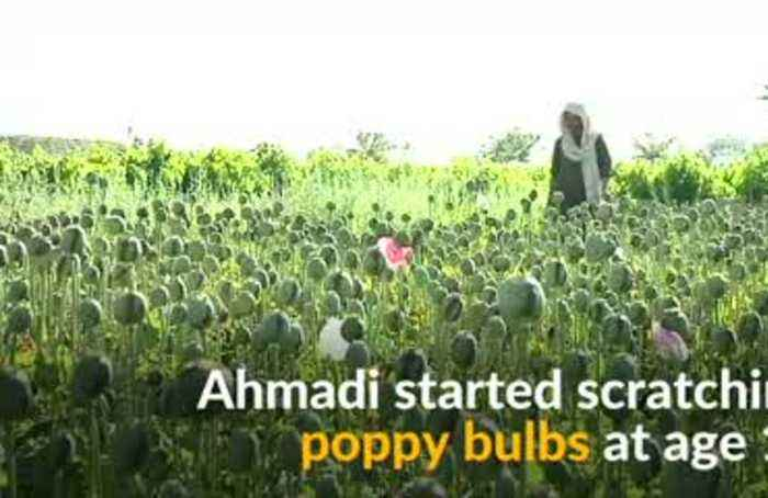 Afghan farmers harvest illegal poppies to build a future