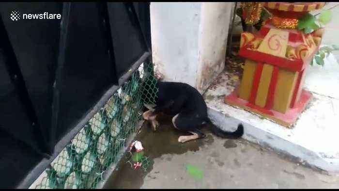Indian firemen rescue puppy with head stuck in iron gate