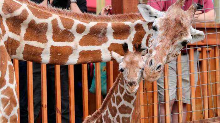 April The Giraffe Is Retiring (And Going On Birth Control)