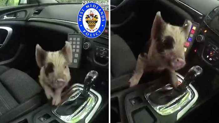 Run Away Piglet Has Bacon Saved By Police