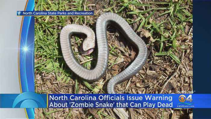Officials: 'Zombie Snake' That Can Play Dead & Roll Over Is 'Harmless'