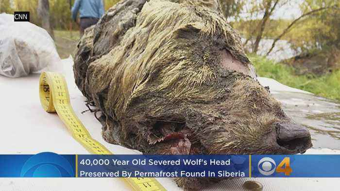 40,000-Year-Old Severed Wolf's Head Preserved By Permafrost Found In Siberia