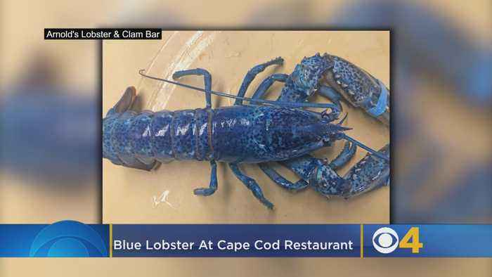 Catch Of The Day: Blue Lobster On Display At Cape Cod Restaurant
