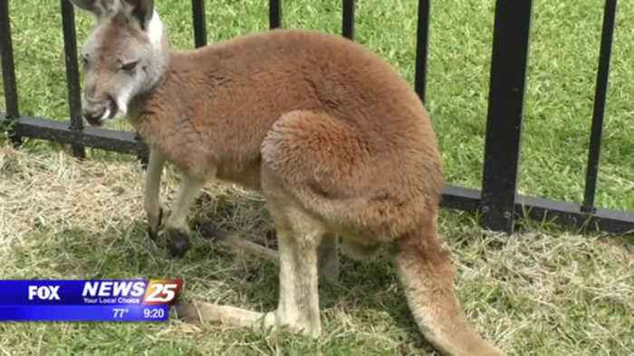 JoJo the Kangaroo is back home and recovering