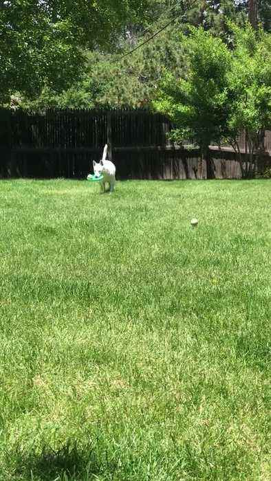 Dog Fetches Balls with Frisbee