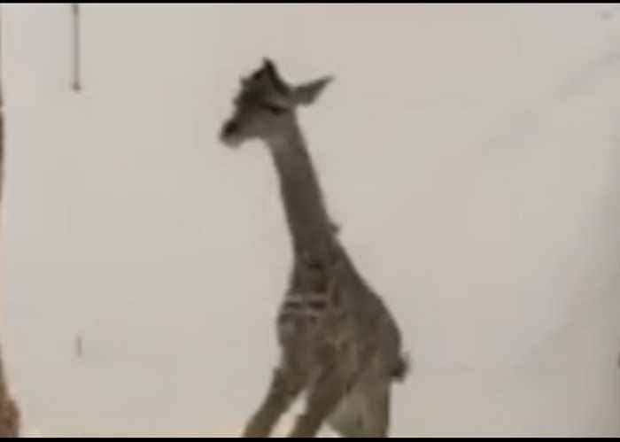 Baby Giraffe at Cincinnati Zoo Goes for a Run Just One Day After Birth