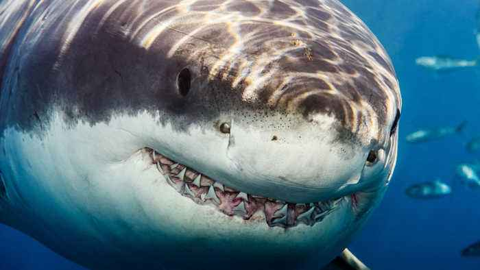 In South Africa, Great White Sharks Are Being Hunted By An Even Bigger, Scarier Predator