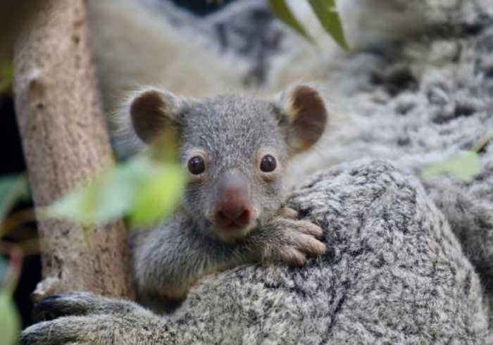 'Lucky Seven' Koala Joeys Peep Out of Mothers' Pouches at Australian Reptile Park