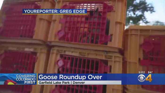Geese Culling Is Over In Denver