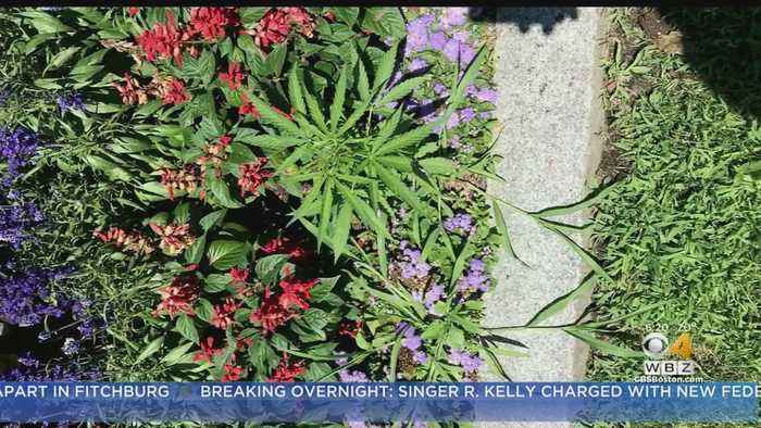 Cannabis Plants Found Growing Outside Vermont Statehouse