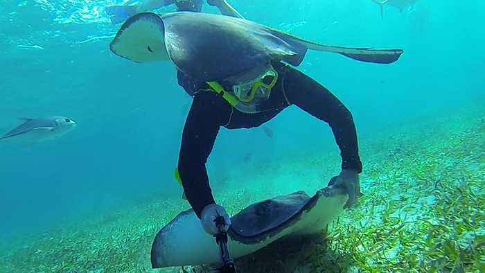 Swimmer meets extremely friendly stingrays in Belize