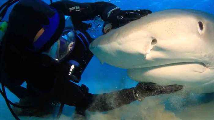 The Shark Whisperer! Incredible Footage Of Man Pets Sharks As If They Were Dogs
