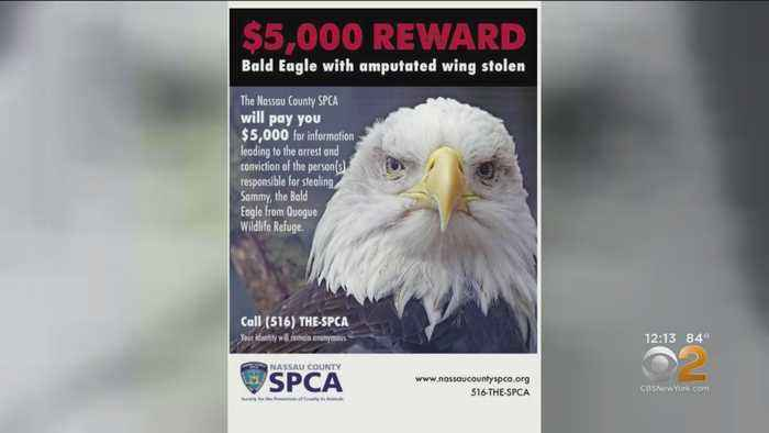 Up To $5,000 Reward Offered For Help Recovering Stolen Bald Eagle