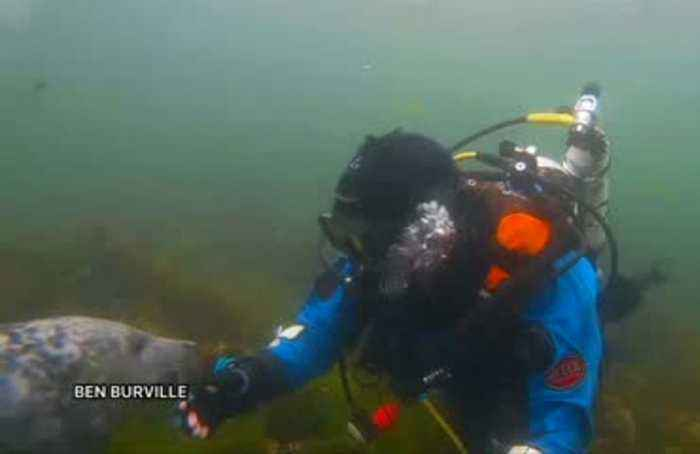 Grey seal 'shakes hand' with underwater cameraman off UK coast