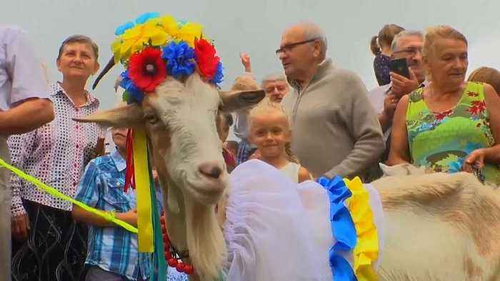 Ukraine's gorgeous goats compete for beauty crown