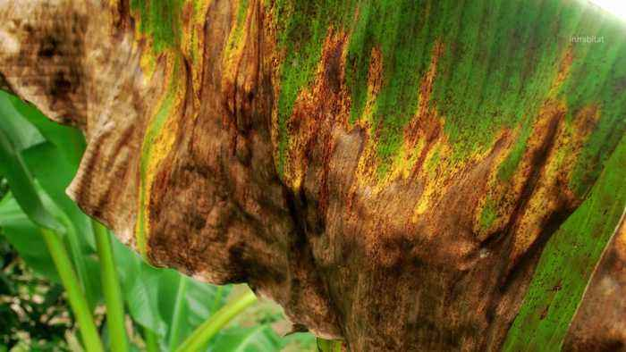 Bananas Facing Extinction Due to Deadly Fungus