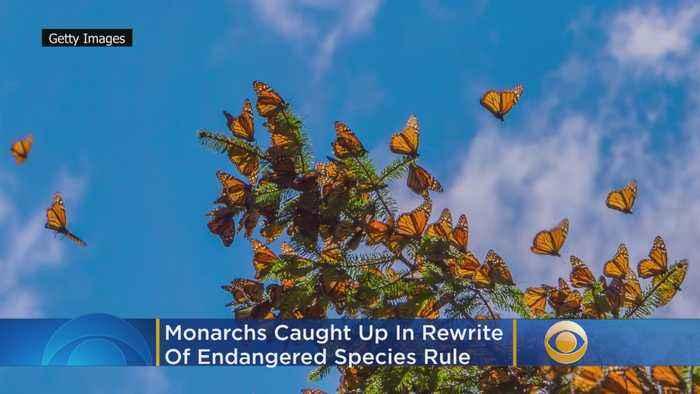 Monarchs Caught Up In Rewrite Of Endangered Species Rule