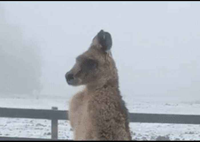 Shivering Kangaroo Feels the Effects of Australian Winter