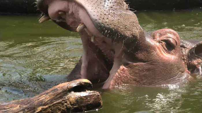 Funny hippo entertains spectators by playing with a log