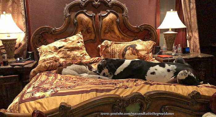 Great Dane and his toy nearly takes up entire bed