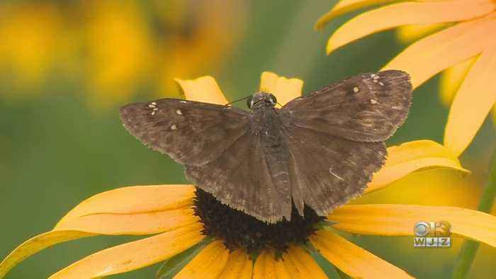 Prince George's County Woman Working To Raise Awareness On Endangered Butterfly Species