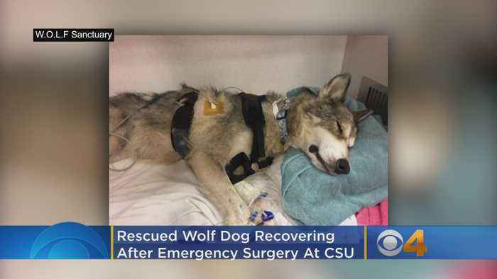 Rescued Wolf Dog Recovering After Emergency Surgery At CSU