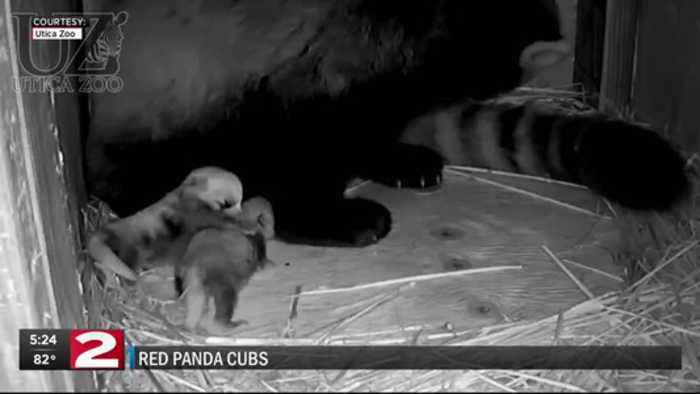 Utica Zoo announces new red panda cubs