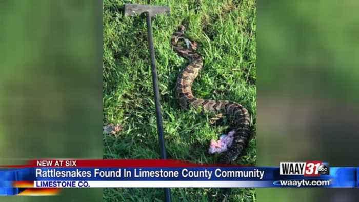 Rattlesnakes In Limestone Co.