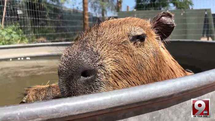 Play with capybaras, porcupines and kangaroos at Tucson's Funny Foot Farm