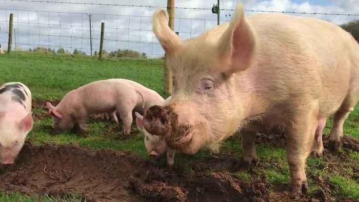 Mother Pig And Piglets Go Outside For First Time After Being Rescued