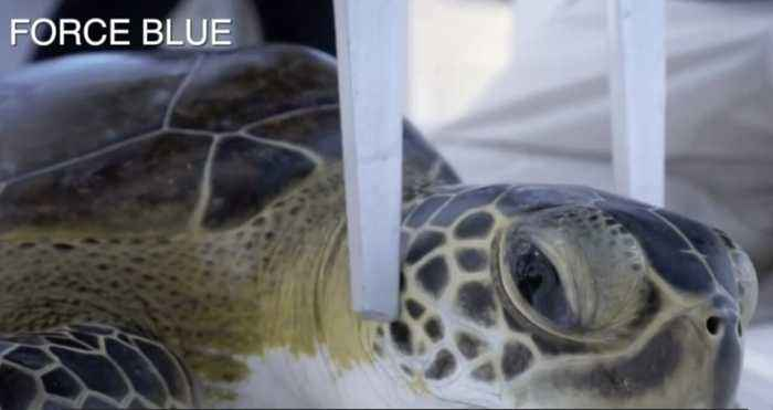 Sick Sea Turtles: Team of local researchers, experts team up with veteran's organization Force Blue to research cancer-like dise