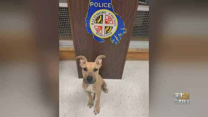 Dog Abandoned In White Marsh Now At Baltimore County Animal Shelter