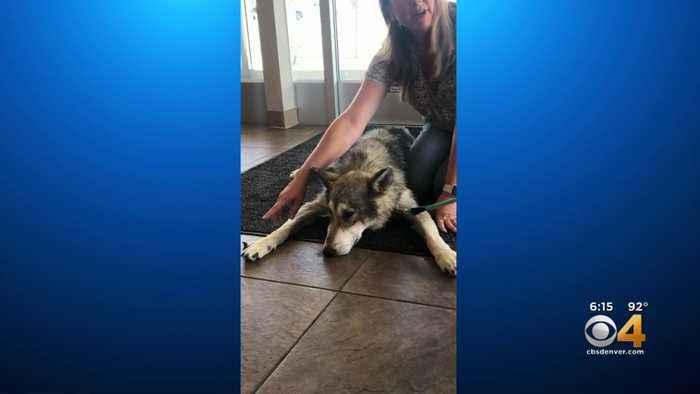 Blind Wolf Dog Receives Life-Saving Surgery At CSU